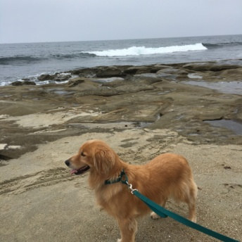 Odie at La Jolla Cove